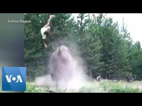 9-Year-Old Girl Tossed Violently by Charging Bison at Yellowstone