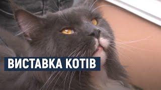 8 порід котів представили на шоу-конкурсі «Магічні коти Поділля» у Хмельницькому