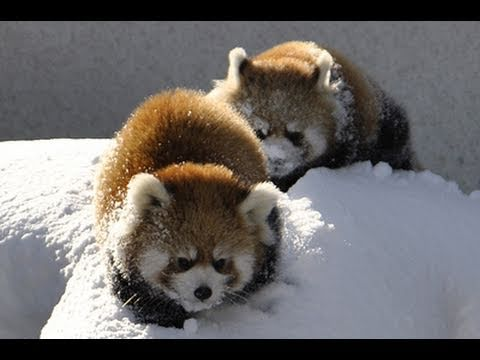 Red Pandas Have So Much Fun Playing In The Snow