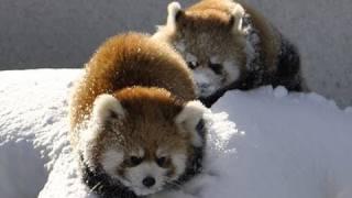 Красные панды на снегу