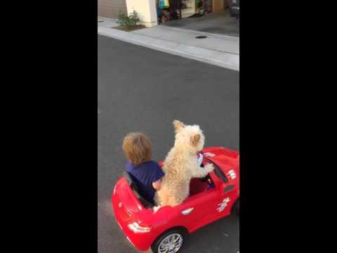 Este perrito conduce mejor que muchos humanos