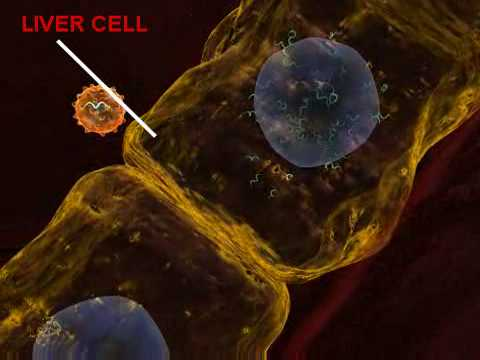 An Animation of The Hepatitis C Virus and How it Affects the Body