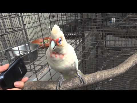 Dancing Cockatoo (Long-billed Corella)