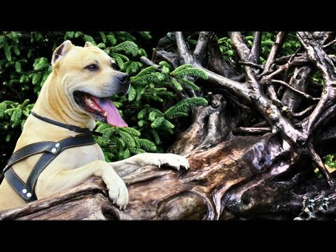 tret, bellissimo pitbull american staffordshire terrier ( parkour dog)
