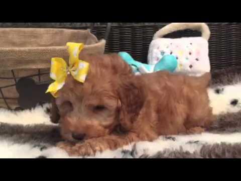 mini goldendoodle, female