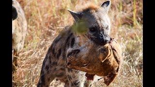 Video Hyena bunuh Singa Betina! Singa Jantan Balas Dendam (Epic Battle) MP3, 3GP, MP4, WEBM, AVI, FLV Mei 2019