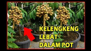 Video #TIS# Klengkeng Pendek Buah Lebat di Pot|Cara Mudah|Kristal,pimpong,itoh| Longan fruit in the pot MP3, 3GP, MP4, WEBM, AVI, FLV Juli 2018