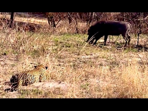 Wildlife - Hilarious video of a leopard spending almost 2 minutes ambushing a warthog, and then right in the end forgetting completely how to hunt! Taken in the Greater...