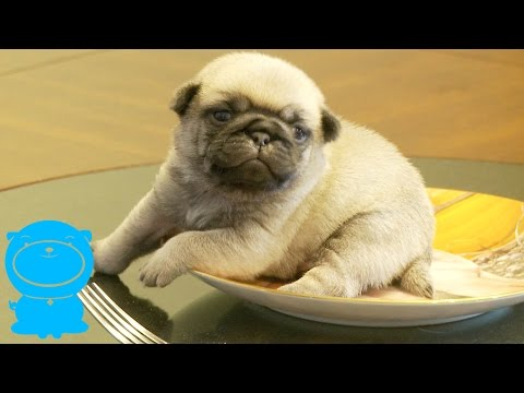 Fuzzy Pug Puppy On A Pug Plate! SQUEE!