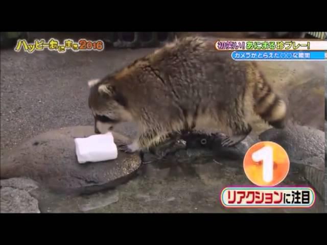 ハッピーあにまる2016 アライグマがわたあめを洗う... Raccoon washes Cotton Candy