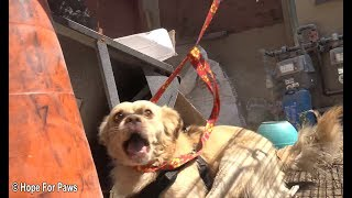 Abandoned dog survives for months from scraps left by neighbors until Hope For Paws was called in. by Hope For Paws