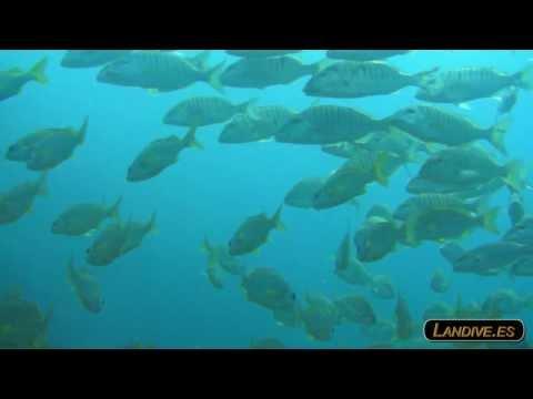 L A N D I V E . E S - Scuba Submarinismo Sardina del norte HD