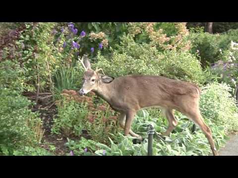 Deer in Manhattan - Surprise in Ft. Tryon Park Heather Garden 10 26 16