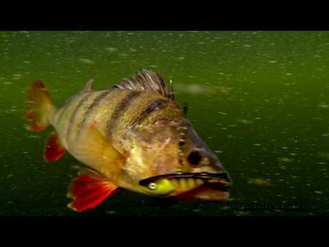 Small river big fish Giant perch & pike attack Zipper. Fishing w lures Рыбалка воблер огромный окунь