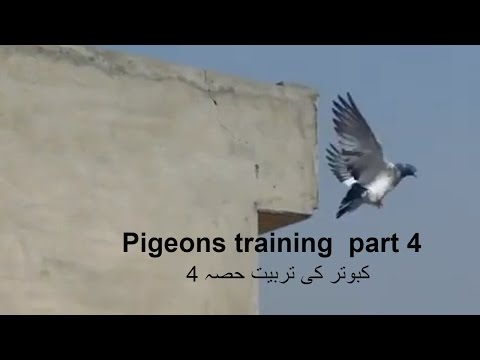 Training high flying pigeons-letting your pigeons out side the loft -4th day- with Raja Bhai