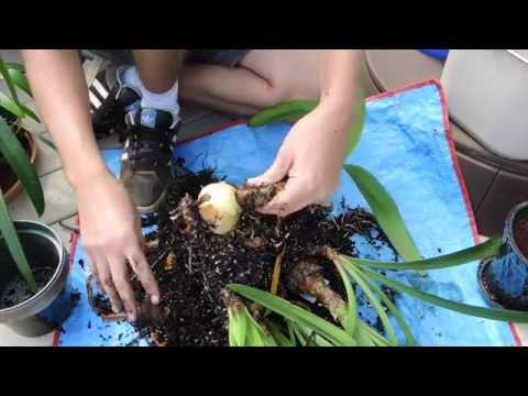 how to fertilize amaryllis