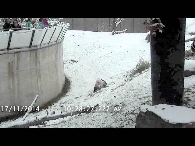 Giant Panda Bear Is Excited About Snow