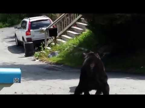 Two black bears in NJ have a badass street fight.