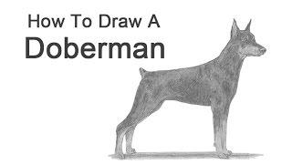 Добермана рисовать 9
