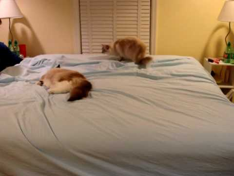 0 Do Your Kitties Play in Your Bed Sheets?