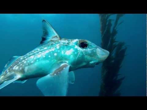 Chimera fish