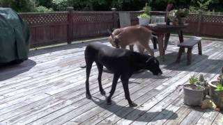 Un chien et une biche sont amis !