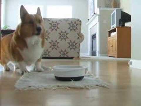 主人每次把狗糧灑到地上柯基就會失控做出「舞動全身」的動作,大家看了都會像個瘋子一樣狂笑啊!