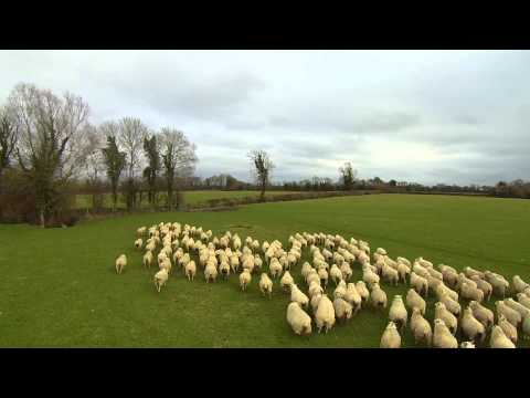 Irish farmer uses drone to herd sheep