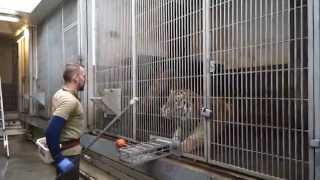 Video Tigertræning   Copenhagen Zoo MP3, 3GP, MP4, WEBM, AVI, FLV Agustus 2019