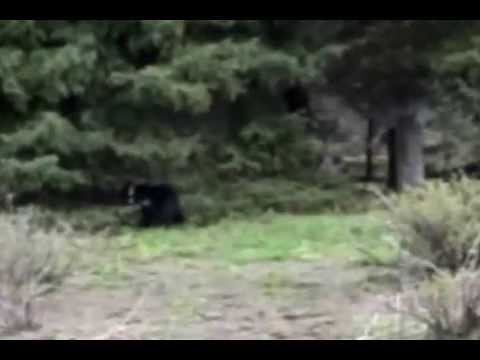 Watch: Boo Boo Bear Rescued from Forest Fire Returned to the Wild