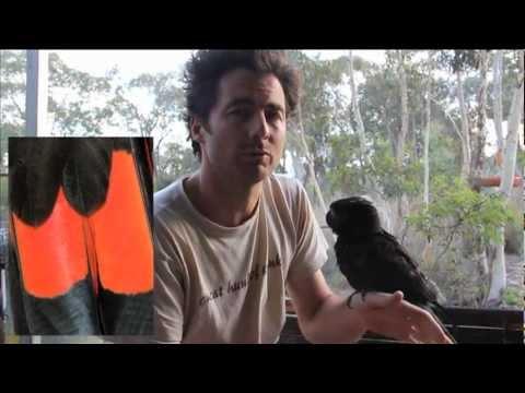 Glossy Black Cockatoo: Priam Research & Breeding
