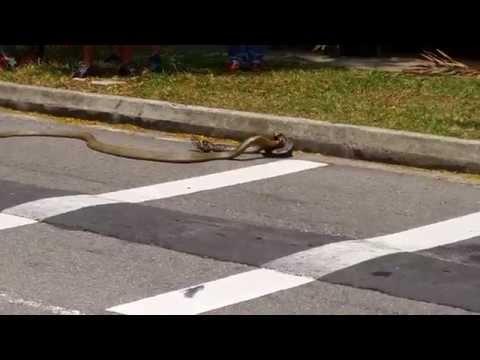新加坡街頭竟然上演一場眼鏡蛇和蟒蛇的生死大戰,最終的勝負結果害路人都嚇到雞飛狗跳!