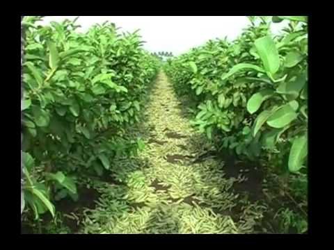 All you wanted to know about guava plantation