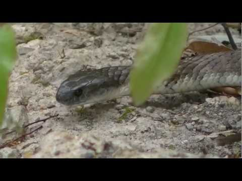 Tiger Snake Vs Blue-tongue