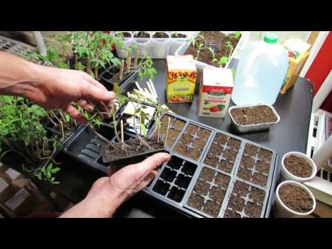 Video Starting Vegetable Seeds Indoors: Planting, Watering, Feeding Tomatoes & Peppers- KIS Series (3) download in MP3, 3GP, MP4, WEBM, AVI, FLV January 2017