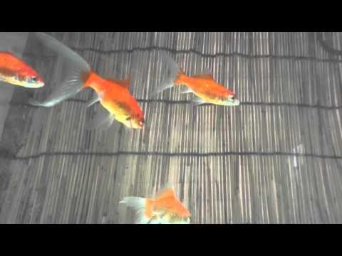 庄内金魚 8~10cm 300円