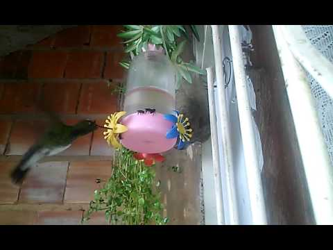 Beija-Flores bebendo água adoçada  Patrocínio do Muriaé-MG