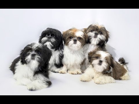 Top 10 Facts About Shih Tzu(Shih Tzu Dog Breed Information)