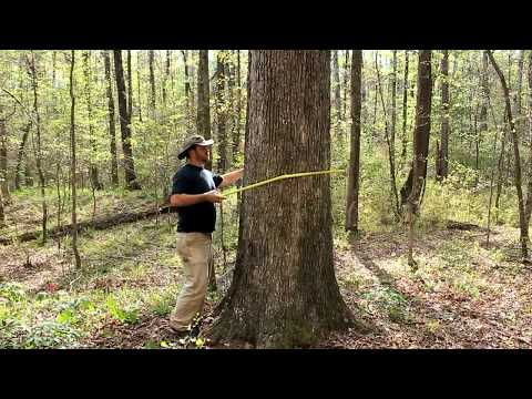 How to determine the age of a tree WITHOUT cutting it down