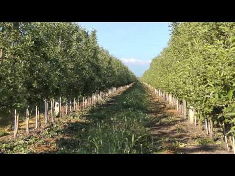 Интенсивное выращивание сливы 92
