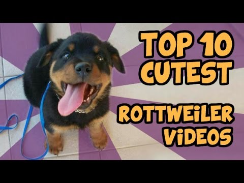 TOP 10 CUTEST ROTTWEILER VIDEOS  OF ALL TIME