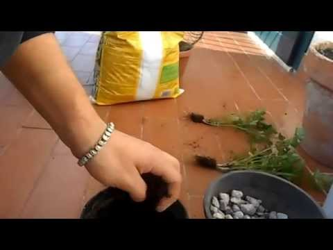 prezzemolo in vaso: come coltivarlo in casa o sul balcone