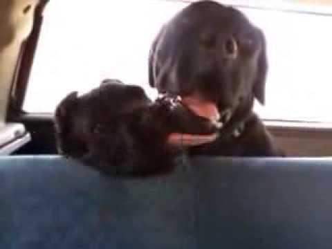 Cane Corso and puppy on car (Cani corso in macchina)