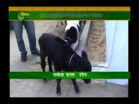 Know about treatment for diseases in calf
