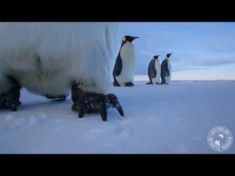 العرب اليوم - البطاريق تتقن السيلفي في محمية أنتاركتيكا الأسترالية
