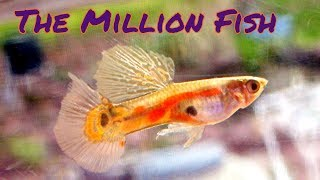 Why are guppies so popular? [2 Hour Live Stream] by Aquarium Co-Op