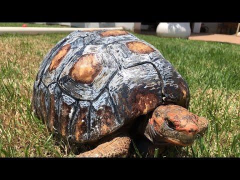 Kilpikonna sai uuden kilven hajonneen tilalle 3D-tulostimen avulla