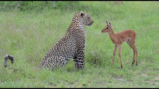Incredible footage of leopard behaviour during impala kill - w...