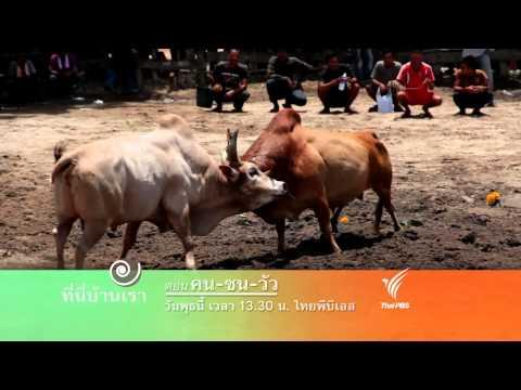 ที่นี่บ้านเรา : คน-ชน-วัว (15 ก.ค.58)