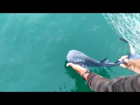 Redding van een baby walvishaai